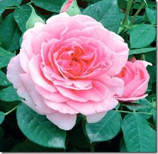 Rosa-Inglese